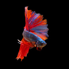 Pose of fighting fish, Fighting fish on balck background