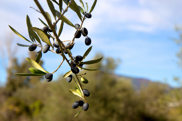 Close up olives on the branch of olive tree
