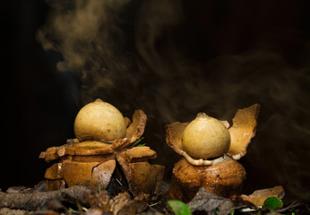 Collared earthstar releasing a cloud of brown dust-like spores in response to impact of falling raindrops