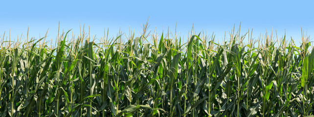 Panoramic of corn growing on farmland. Blue sky in the background. Wall mural