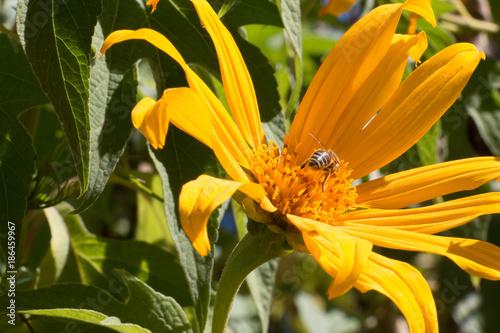 Ile De La Reunion Fleur Jaune Tournesol Mexicain Stock Photo And