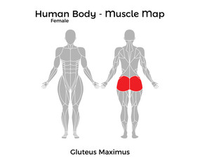 Female Human Body - Muscle map, Gluteus Maximus. Vector Illustration - EPS10.