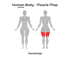 Female Human Body - Muscle map, Hamstrings. Vector Illustration - EPS10.