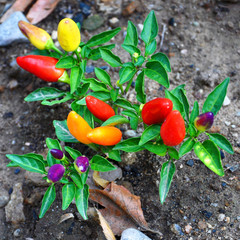 hot peppers of different varieties of maturity with green leaves growing on gray ground