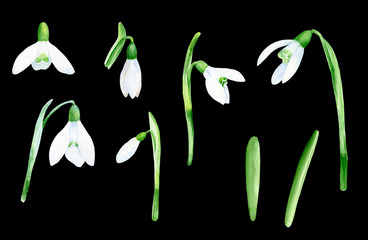 Snowdrop hand painted watercolor clip art floral illustration wedding birthday invitations thank you cards calendars