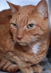 BEAUTIFUL ORANGE TABBY CAT