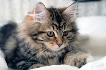 Adorable fluffy, furry little Siberian brown tabby kitten. Siberian cats are thought to cause fewer allergies in people allergic. Concepts family pet, allergies, hypoallergenic