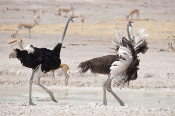 Etosha National Park Namibia, Africa, male and female ostrich running.