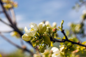 White-pink flowers of an apple-tree against a blue sky and greenery