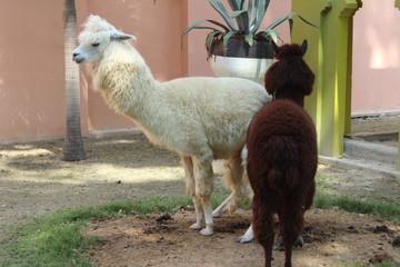 Alpaca in zoo