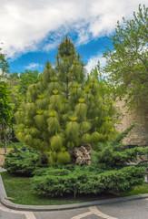 Pine tree in park