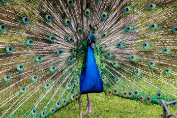 Male peacock displaying full plumage