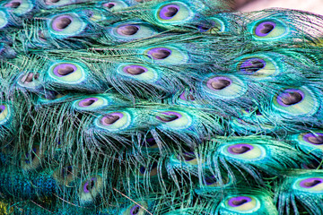 Close up view of peacock feathers in full plumage