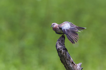 Laughing Dove in Kruger National park, South Africa