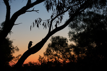 Silhouette of young magpie in tree during sunset at Old Cork in rural Queensland
