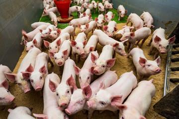 Obraz stado świnie - fototapety do salonu