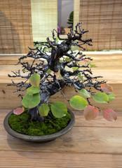 Bonsai Choenomeles sinensis