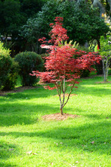Japanese red maple (Acer palmatum japonica red) in a park. Batumi