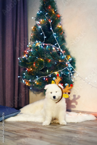 puppy of samoyed husky dog christmas and new year decorations little dog near the