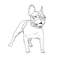 French bulldog hand drawn sketch isolated on white background. Purebred dog artistic outline illustration.