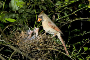 Feale Northern cardinal (Cardinalis cardinalis) feeding nestlings in the nest, Atlanta, Georgia, USA