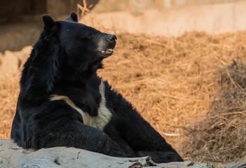 Sloth Bear, National Zoological Park, New Delhi, India