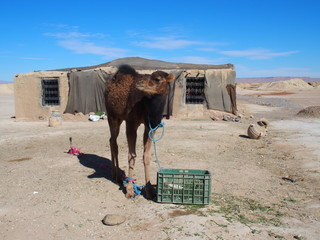 Cute young camel and moroccan cottage in village on Sahara desert landscape in central Morocco