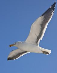 Kelp Gull (Larus dominicanus) - Namibia
