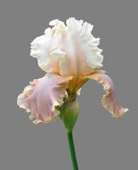 Keuken foto achterwand Iris iris flower