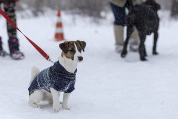 Jack Russell for a walk in the winter