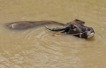 Water buffalo in the Mekong delta near Vinh Long in Vietnam