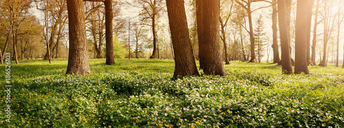 Wall mural Wood with lots of white spring flowers in sunny day