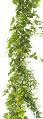 vine plant isolated on white background, clipping path