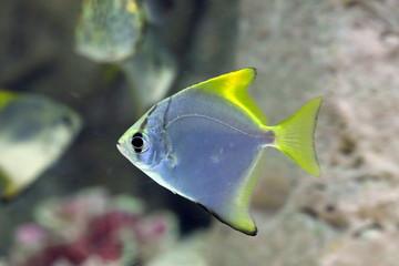 Monodactylus argenteus. Silver colorful fish-swallow floats in the aquarium