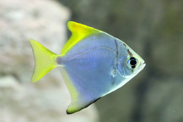 Monodactylus argenteus. Silver colorful fish-sign in the aquarium
