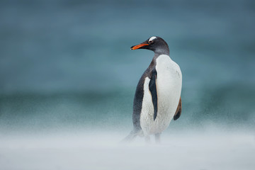 Gentoo penguin walking on a coast on a windy day, Falkland Islands.