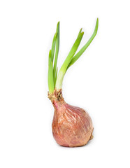 Onion bulb with fresh green sprouts on white background