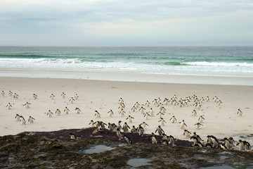 Rockhopper penguins heading from the sea back to the colony, Falkland Islands.