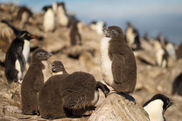 Southern rockhopper penguin chick standing on a rock, Falkland Islands.