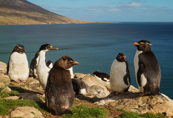 Group of southern rockhopper penguins standing on the rocks, Falkland Islands.