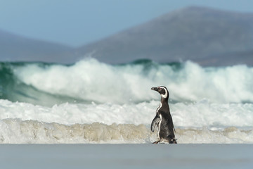 Magellanic penguin going to the stormy ocean, Falkland Islands.
