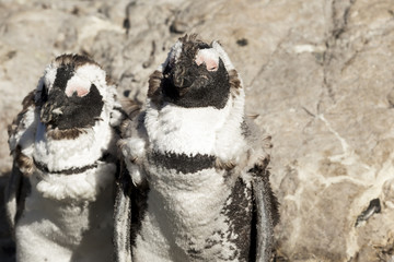 Penguins in Western Cape South Africa