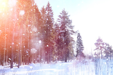 Winter forest on a sunny day. Landscape in the forest on a snowy