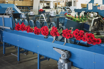 Red gerberas are ready on the assembly line to be packed