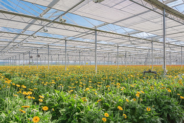 Growing gerberas in a large greenhouse in the Netherlands