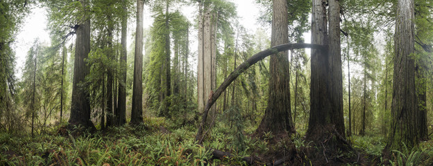 Panoramic view of trees growing in Jedediah Smith Redwoods State Park