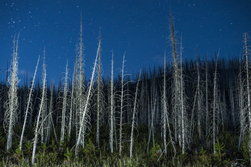 Trees growing in forest against blue sky at night