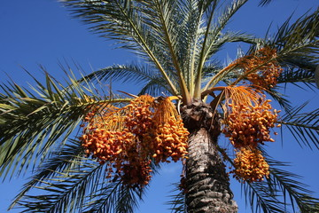 palmier dattier