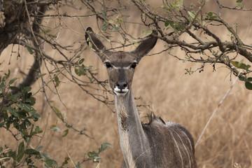 Kudu Antelope in Kruger Park