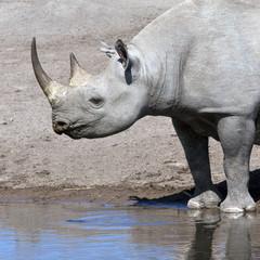 Black Rhinoceros - Etosha National Park - Namibia